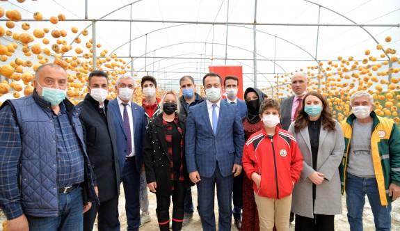 Trabzon hurması'' hasadı başladı